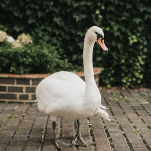 Meet the Team - Sid the escape artist Healing Manor Swan